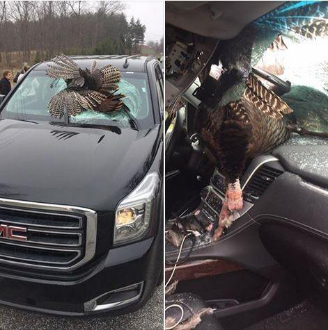 Огромная индейка пробила лобовое стекло авто в США (ФОТО)
