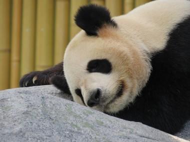 Сеть покорила панда, обрадовавшаяся первому снегу (ВИДЕО)