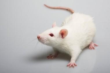 """Ученые внедрили в мышей """"саморазмножающиеся"""" гены"""