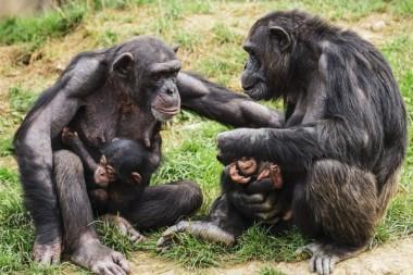 Ученые обнаружили у шимпанзе развитую цивилизацию