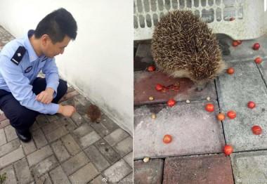 В Китае еж попытался ограбить полицейский участок (ВИДЕО)