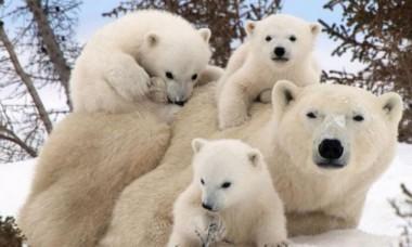 Мех белых медведей помог создать уникальный материал