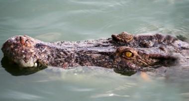 Крокодилы раньше были травоядными, заявили учёные