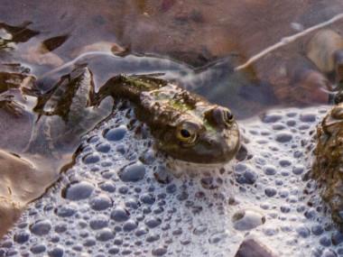 В тропических Андах открыли 11 новых видов дождевых лягушек