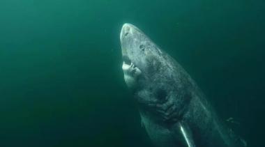 Учёные обнаружили акулу, которая старше Шекспира