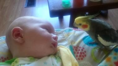 Попугай подкрался к спящему младенцу и поет ему песенку (ВИДЕО)