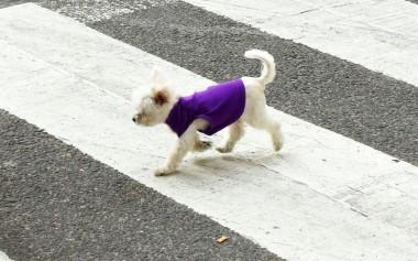 Вот как надо переходить дорогу — учитесь у песика (ВИДЕО)