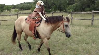 Талантливый лабрадор научился ездить верхом на лошади (ВИДЕО)