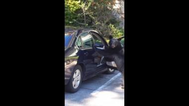 Медведь улыбнулся пассажирам машины и помахал лапой (ВИДЕО)