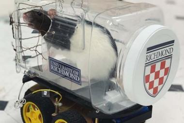 Крыс научили водить мини-автомобили (ВИДЕО)