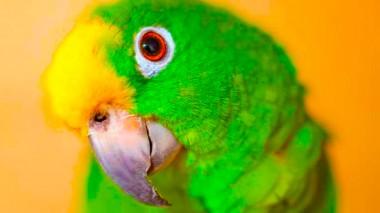 Видео с охраняющим дом попугаем стало хитом сети