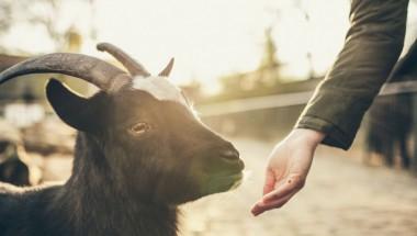 """В Запорожье на заднем сидении """"Жигулей"""" прокатили козу (ВИДЕО)"""