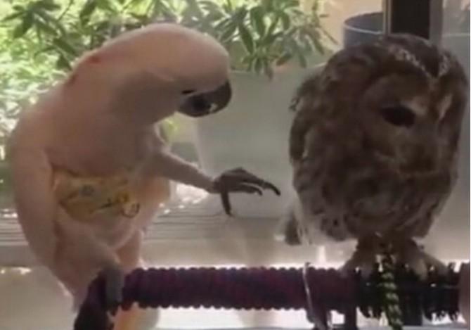 Попытки «влюбленного» попугая добиться взаимности у совы насмешили сеть (ВИДЕО)