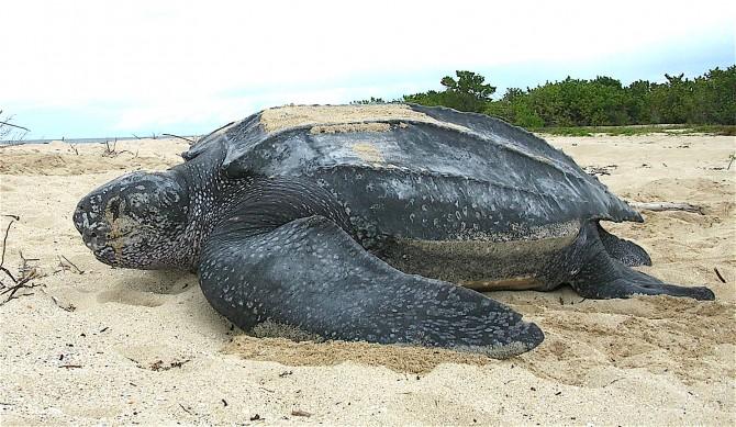 В колумбийской пустыне нашли панцирь крупнейшей черепахи на Земле