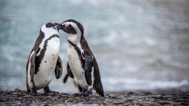 У пингвинов обнаружили «человеческую» речь