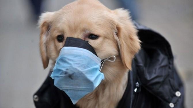 Китайский пес в маске ходит за покупками вместо хозяина (ВИДЕО)