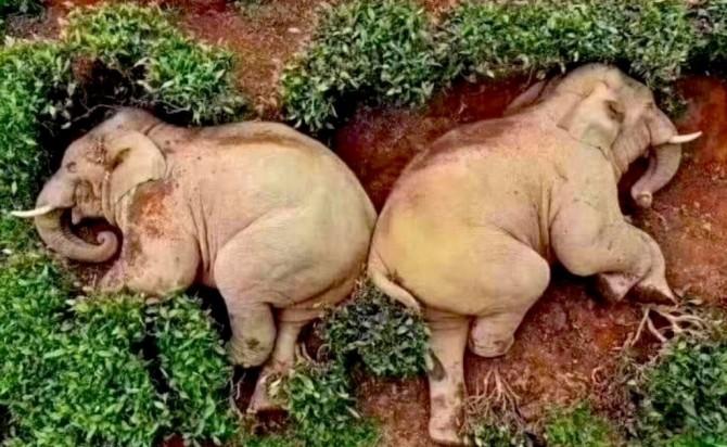 В Китае дикие слоны напились виски
