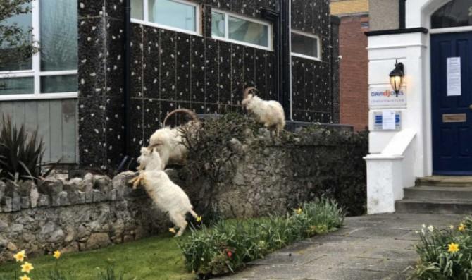 Великобритания на карантине, а козы разгуливают по пустым улицам