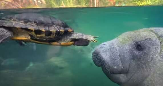 История дружбы черепахи и ламантина (ВИДЕО)