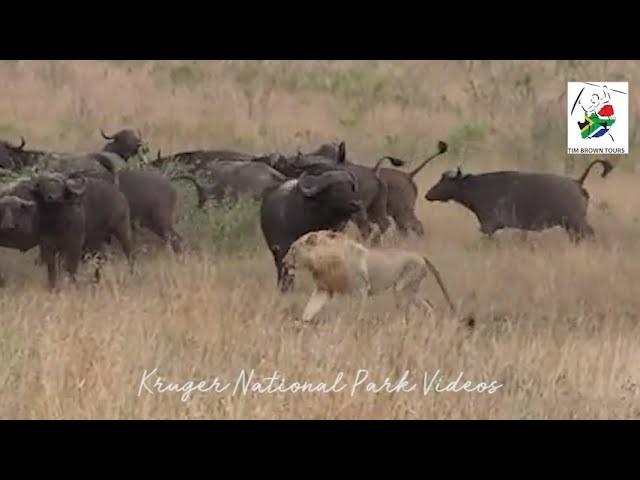 Нелепая охота львиц на стадо буйволов попала на видео