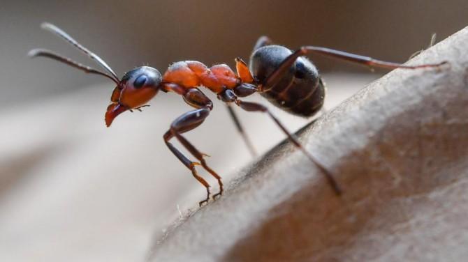 Ученые выяснили, как антенны рыжих муравьев связаны с длительной и краткосрочной памятью