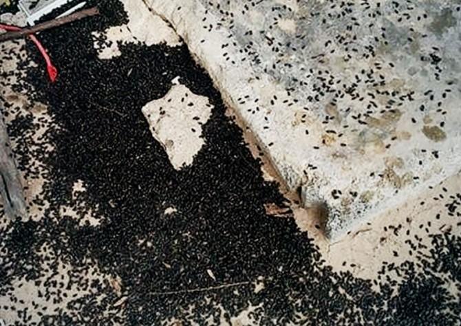 Тысячи зловонных жуков атаковали дом в таиландской провинции