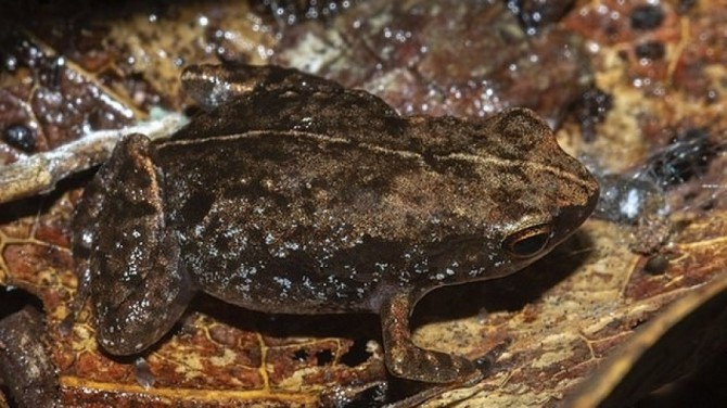 Новый вид крошечных лягушек обнаружили в мадагаскарском лесу