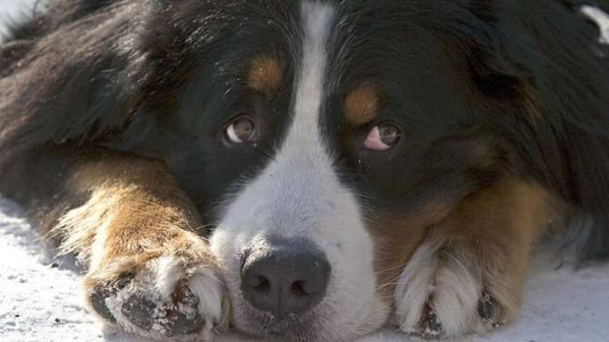 В Финляндии собак научили определять больных коронавирусом
