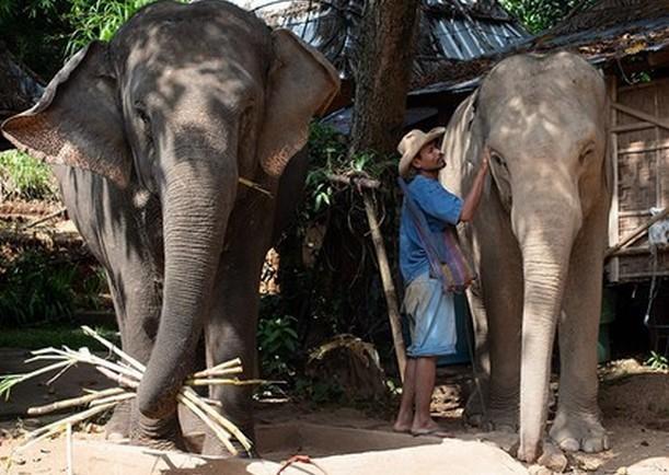 Индиец переписал завещание в пользу своих домашних слонов