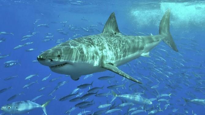Стая тунцов пытается перегнать огромную белую акулу (ВИДЕО)