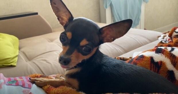 Зевающий пес «подставил» свою хозяйку (ВИДЕО)