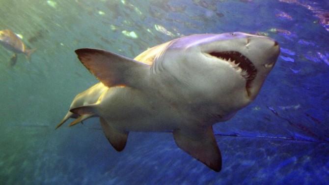 У китовой акулы нашли зубы на глазах