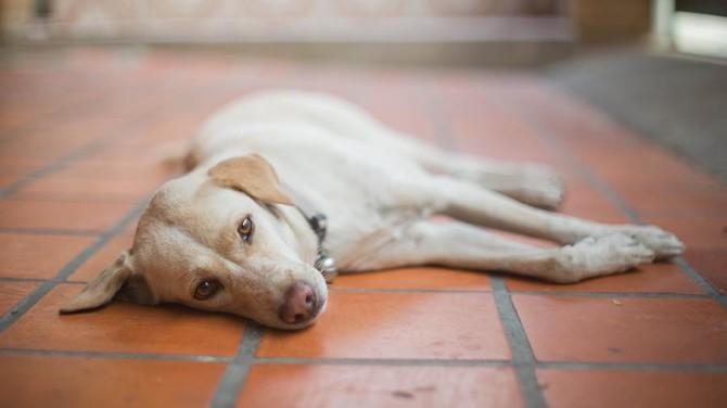 В Перу пес неделю ждет госпитализированного с коронавирусом хозяина