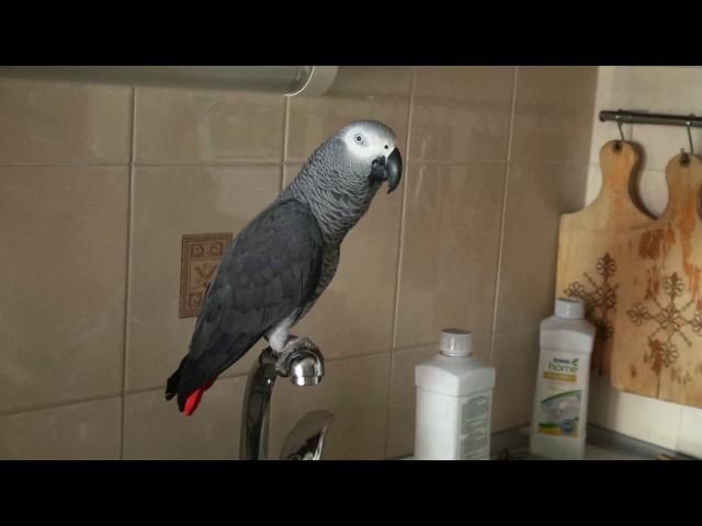 Хитрый попугай подглядывал за хозяйкой в душе (ВИДЕО)