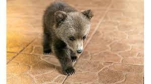 Медвежонок забрался в дом и привел в восторг семейную пару, но внезапно пришла его мать
