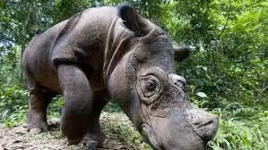 В Малайзии планируют клонировать суматранского носорога