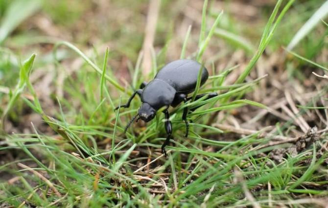 Японские натуралисты обнаружили жуков с оригинальной тактикой выживания