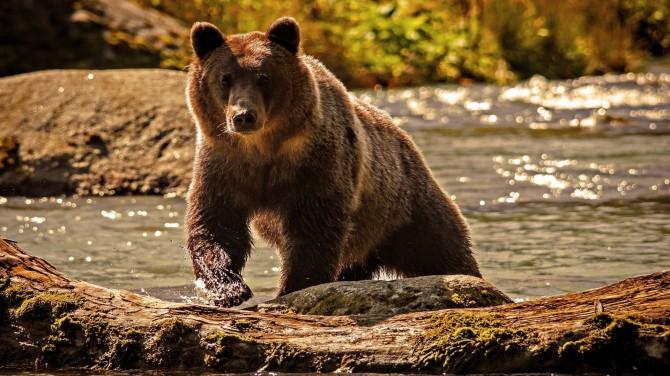 В сеть попало видео, как туристы убегают от медведя гризли