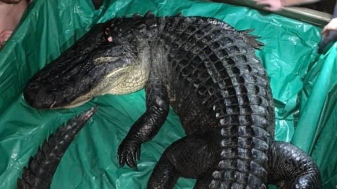 В американском штате Арканзас поймали пятиметрового аллигатора весом более 300 кг