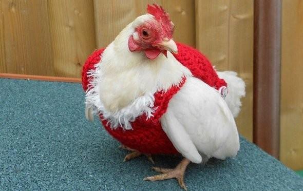 Рождественские свитера для кур поступили в продажу