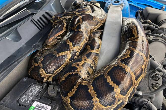 В США огромный питон залез под капот автомобиля (ВИДЕО)
