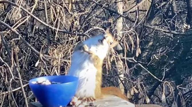 Съевшую забродившие груши белку сняли на видео
