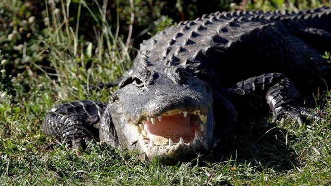 Ученые раскрыли загадку выживаемости крокодилов со времен динозавров