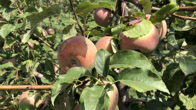 В Японии робота научили собирать яблоки и груши (ВИДЕО)