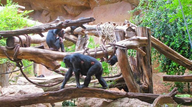 У шимпанзе в Сьерра-Леоне нашли потенциально опасную для людей болезнь