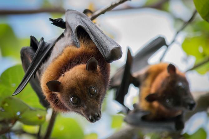 У летучих мышей в Азии обнаружили новый коронавирус