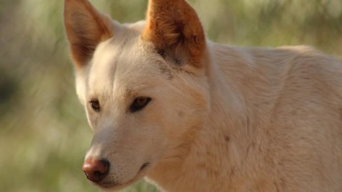 Австралийские ученые развеяли популярный миф о собаках динго