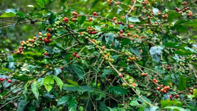 В Африке нашли устойчивый к потеплению сорт кофе