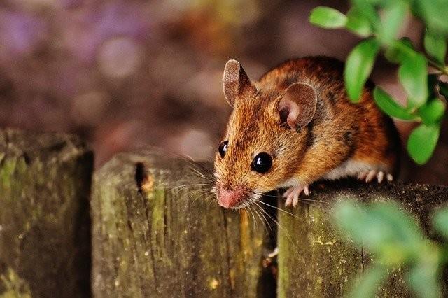 Австралию заполонили миллионы мышей-каннибалов (ВИДЕО)