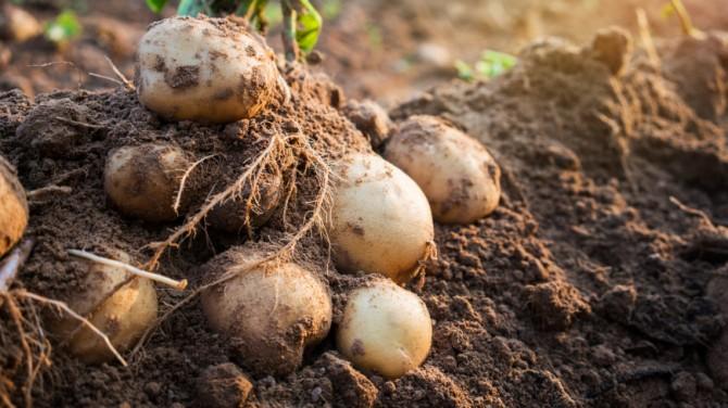 Ученые рассказали о пользе картофеля для организма человека